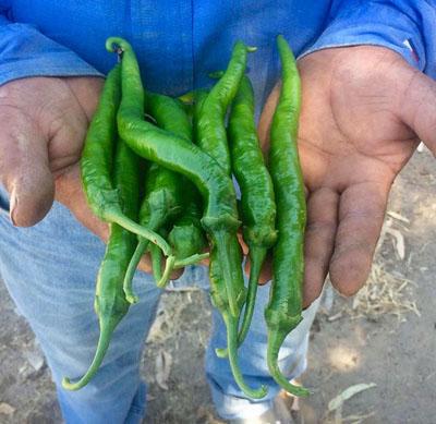 Green Cayenne