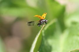 Ladybug alighting.