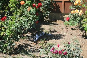 Sarah the cat, relaxing in the shade of the roses.