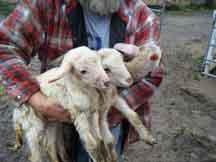 Rebecca's Lambs